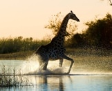 A giraffe rushes through the waters of the delta.