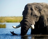 An elephant lazes in the waters of Chobe River.