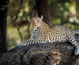 A leopard lounges on the branch of a large tree.