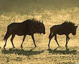 A pair of wildebeest roam grassy plains.