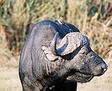 A weathered old buffalo bull.
