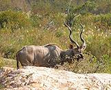 A kudu bull browses in the bush.