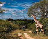 A giraffe approaches a dirt track in the Sabi Sand Private Game Reserve.