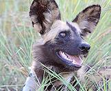An African wild dog relaxes in the grass.