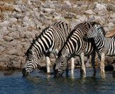 Zebras sup from a pan in Etosha National Park.