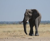 A lone elephant wanders through the wilderness of Etosha.