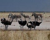 Ostriches and zebras converge on the edge of a pan in Etosha.