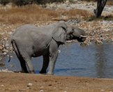 An elephant drinks from a waterhole alongside a herd of springbok.