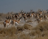 A herd of springbok wander through the wilderness of Etosha.