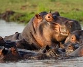 A pod of hippos bask in the Kunene River.