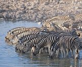 Zebras crowd into a waterhole in Etosha.