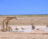 A giraffe, a gemsbok, springbok and zebra gather around a waterhole in Etosha.