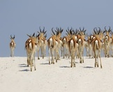 Springbok cross the stark white salt pan of Etosha.
