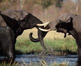 A pair of elephants clash in the waters of the Chobe River.