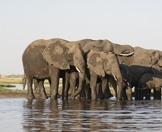 A herd of elephants drink from the waters of the Chobe River.