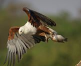 A fish eagle absconds with its meal.