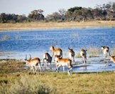 A small herd of red lechwe charge into the Okavango Delta.
