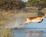 A red lechwe ewe leaps between the channels of the Delta.