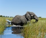 An elephant wades through the reeds of the Chobe River.