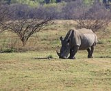 A white rhino and her calf grazing in Hluhluwe.