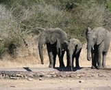 Elephants pause for a drink from a waterhole.