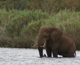 An elephant enjoys a dip in a river.