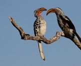 A pair of yellow-billed hornbills perched in a tree.