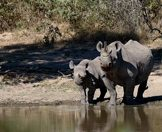 A black rhino cow and her calf pause cautiously at a waterhole.