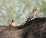 Red-billed oxpeckers hitch a ride on the back of  buffalo.