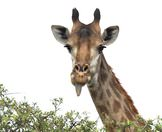 A giraffe prepares to wrap its tongue around a thorny branch.