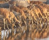 A herd of impalas gather for a drink at a waterhole.