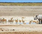 A black rhino with a scattering of springbok in Etosha National Park.