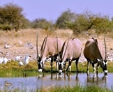 A trio of gemsbok enjoy a drink of water in Etosha.