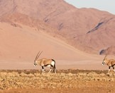 A pair of gemsbok against the dramatic backdrop of the Namib.