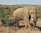 An elephant wanders through the wilderness of Sabi Sand.