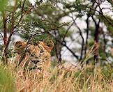 A young male lion camouflages in the tall grass.