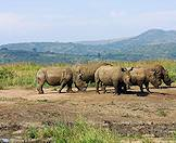 A crash of rhinos encountered in the Phinda Private Game Reserve.