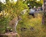 A safari vehicle stops alongside a leopard.