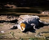 A crocodile lies on the banks of a river in the Greater Kruger.