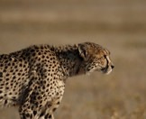 A cheetah prepares to stalk its prey.