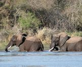 Elephants cross the Sabie River in the Sabi Sand Private Game Reserve.