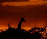 A giraffe silhouetted against the setting sun.
