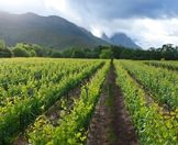 Midday sun splashed across a vineyard in the Cape winelands.