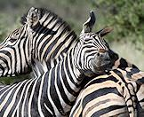 A pair of zebras rub up against one another.