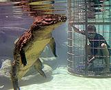 Viewing a crocodile in an underwater cage.