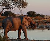 A lone elephant pauses for a sunset drink.