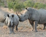 A white rhino cow nudges her calf.