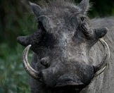 A close-up photograph of a warthog.