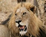 A weathered male lion looks back over his shoulder.