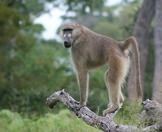A chacma baboon perched on a fallen tree.